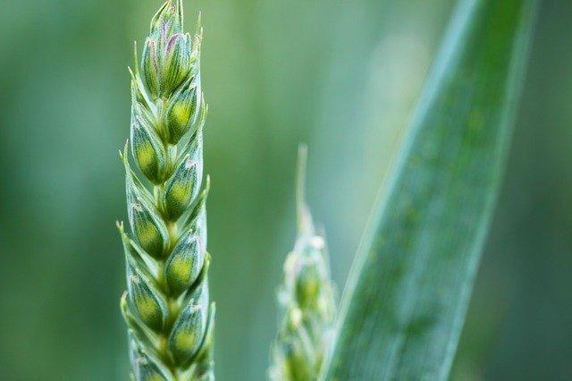 Pšenice je z obilných klíčků nejoblíbenější